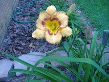 "Daylily, ""Pumpkin Pie Spice"" in Warner Robins, Georgia"