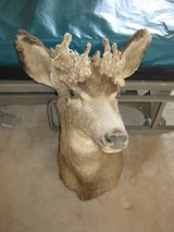 Cactus buck head in Alamogordo, New Mexico