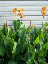 Canna Lillies Multi and Orange in Camp Lejeune, North Carolina